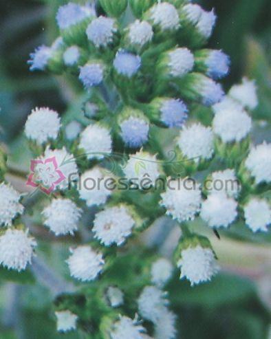 Ageratum - 10 ml  - Floressência
