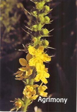 Agrimony - 10 ml  - Floressência