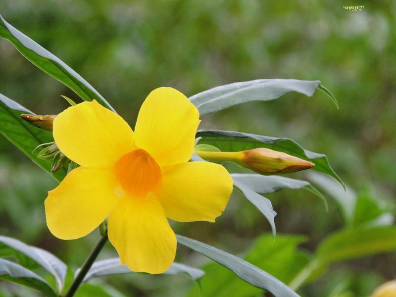 Alamanda - 10 ml  - Floressência