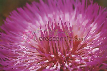 Alcachofra - 10 ml  - Floressência