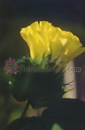 Algodão - 10 ml  - Floressência