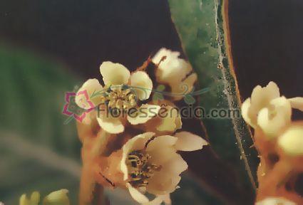 Ameixa - 10 ml  - Floressência