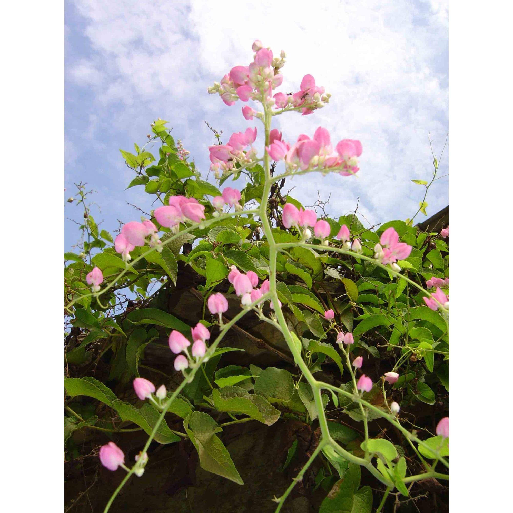 Amor Agarradinho - 10 ml  - Floressência