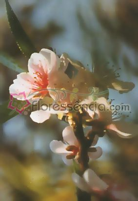 Amygdalus - 10 ml  - Floressência