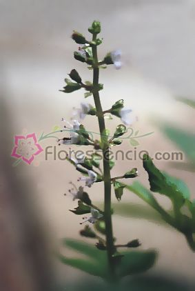 Anis - 10 ml  - Floressência