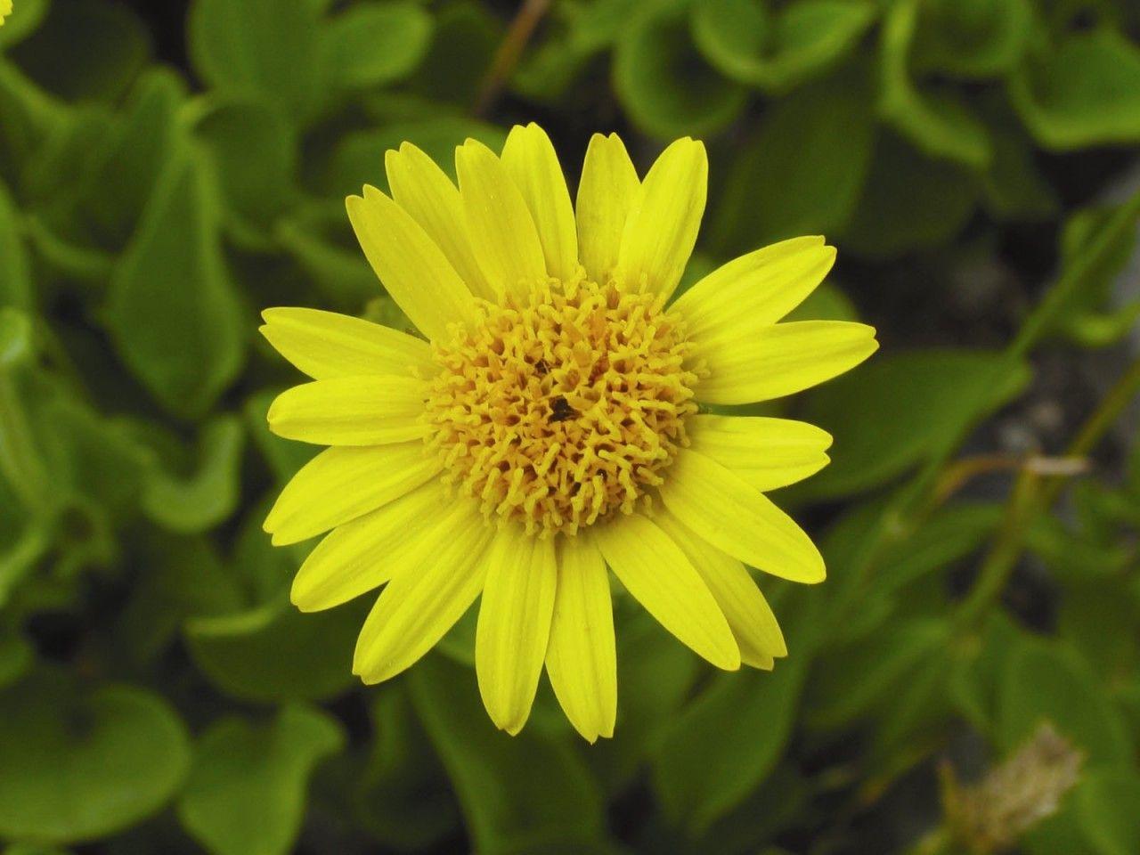 Arnica  - Floressência
