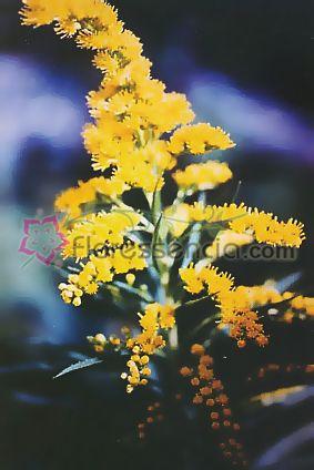 Arnica Silvestre - 10 ml  - Floressência