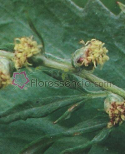 Artemisia - 10 ml  - Floressência