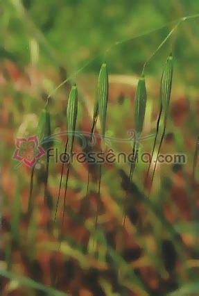 Aveia Selvagem - 10 ml  - Floressência