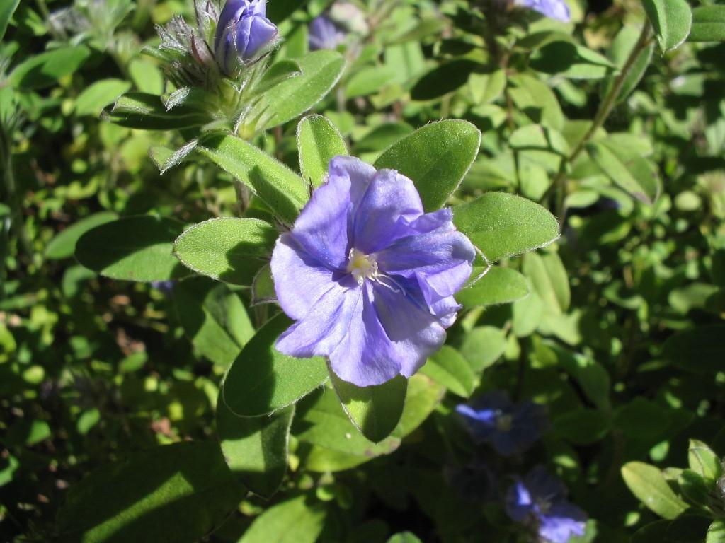 Azulzinha - 10 ml  - Floressência