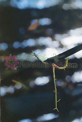 Bambusa - 10 ml  - Floressência