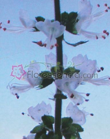 Basilicum - 10 ml  - Floressência