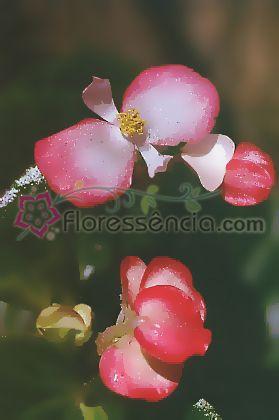 Begônia - 10 ml  - Floressência