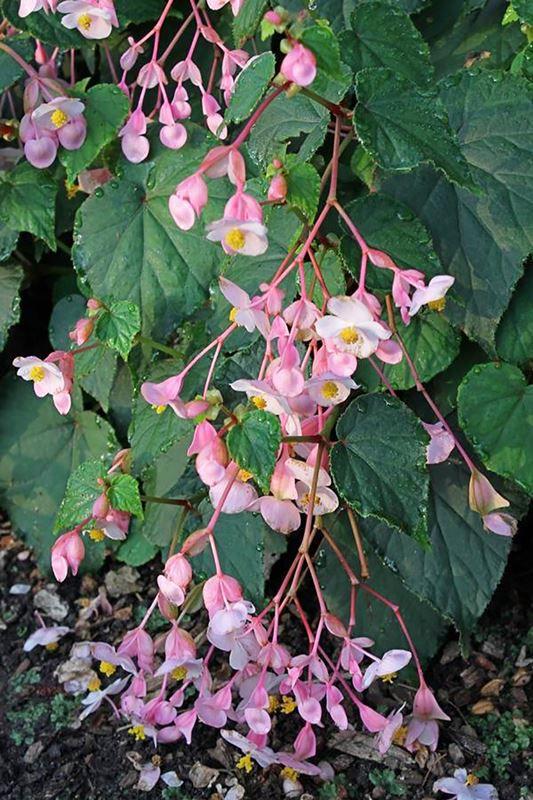 Begônia - Filhas de Gaia - 10 ml  - Floressência