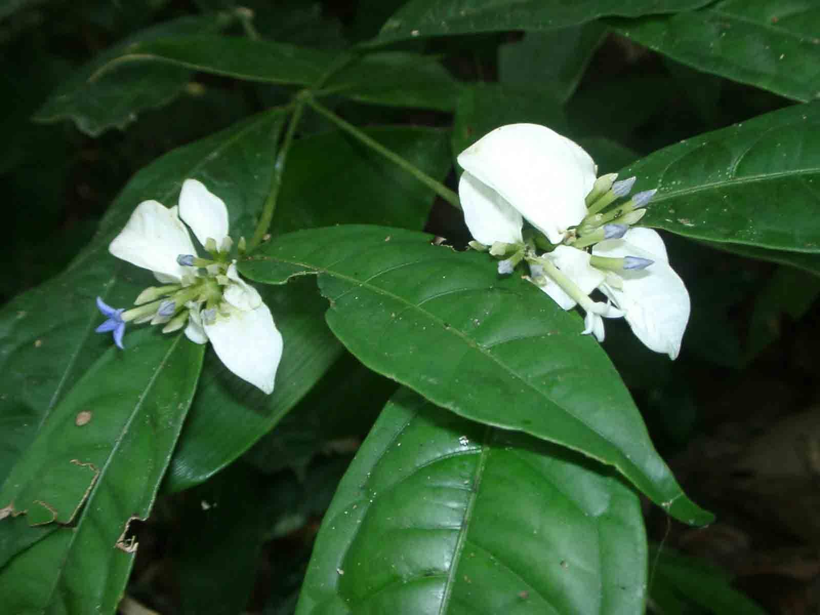 Benguê - 10 ml  - Floressência