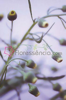 Boa Deusa - 10 ml  - Floressência