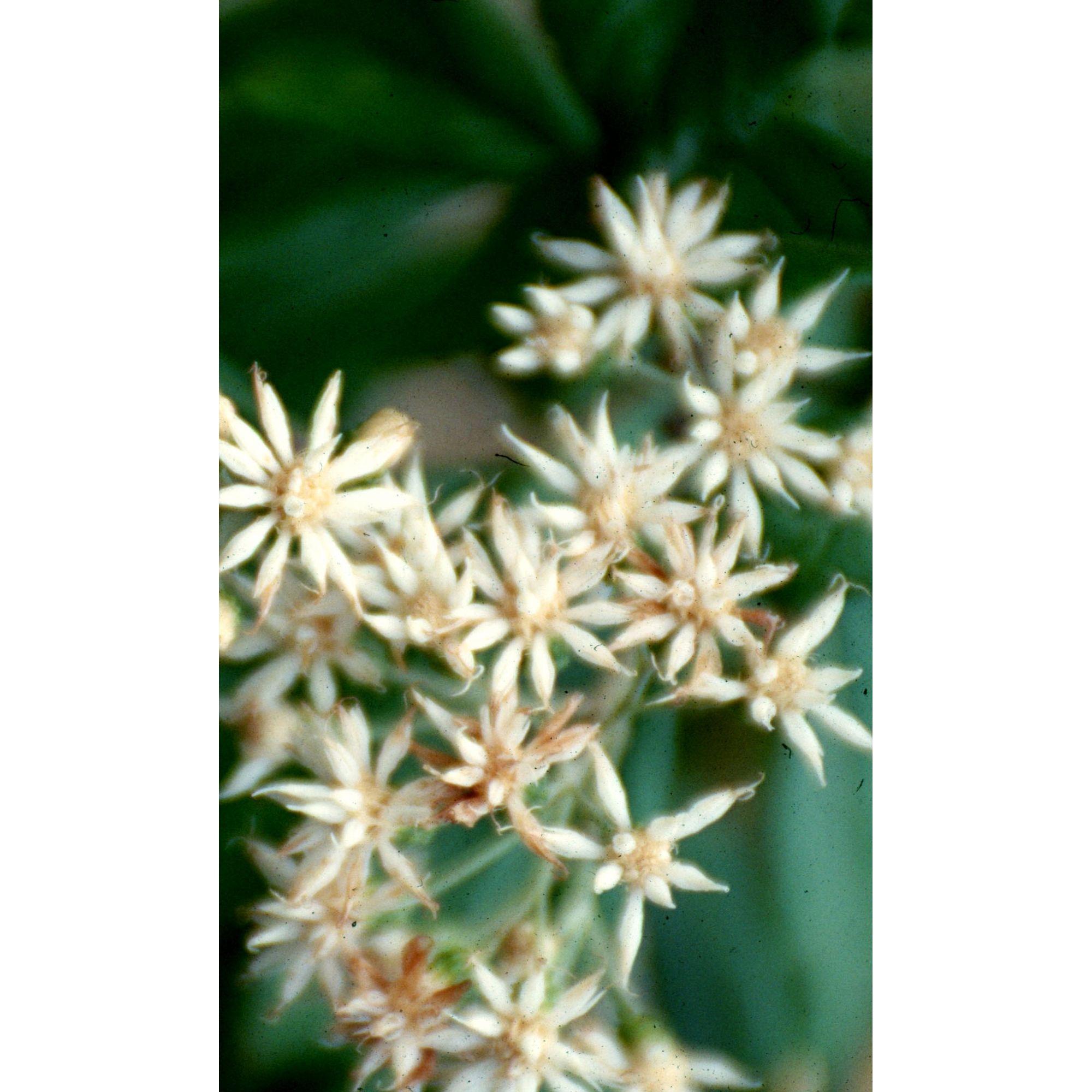 Boldo Amazônico - 10 ml  - Floressência