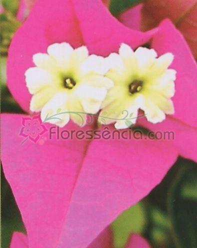 Bougainvillea - 10 ml  - Floressência