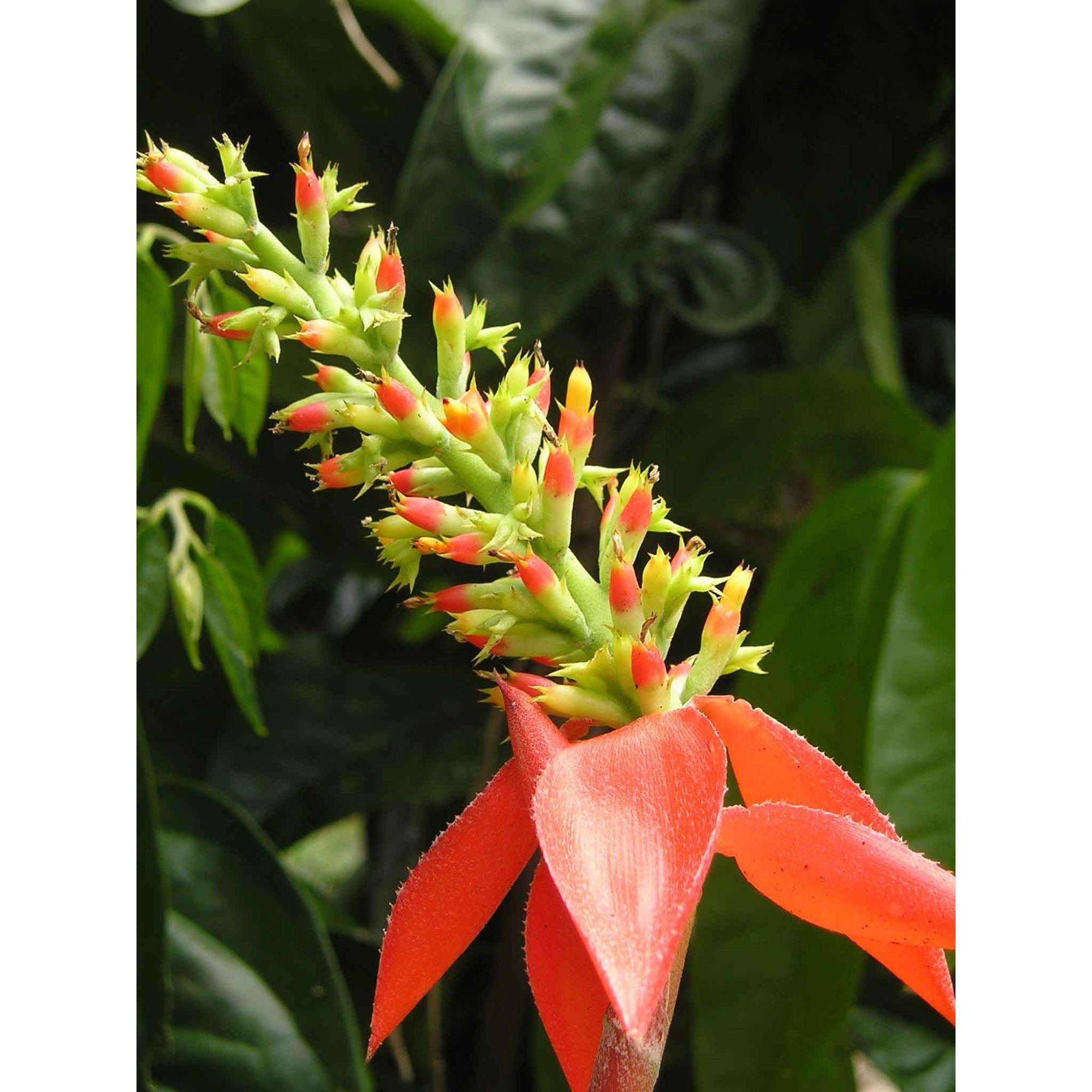 Bromélia - 10 ml  - Floressência