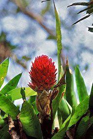 Bromélia 2 - 15 ml  - Floressência