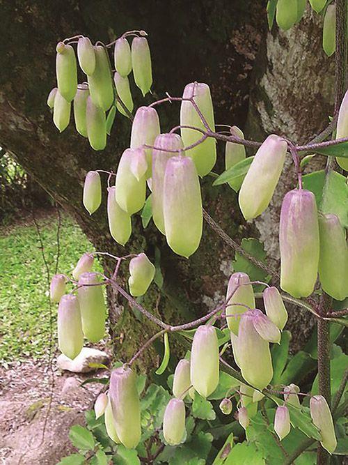 Broto de Saião - 10 ml  - Floressência