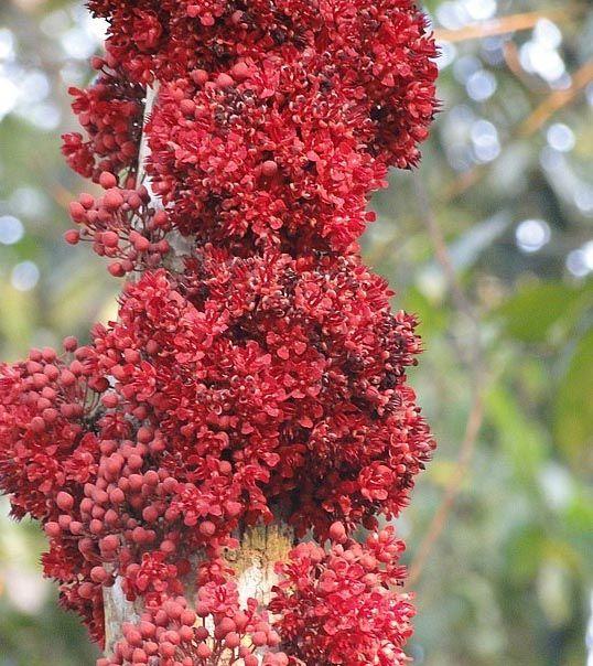 Cacuíde - 10 ml  - Floressência