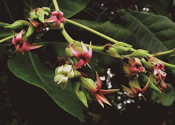 Cajú - Filhas de Gaia - 10 ml  - Floressência