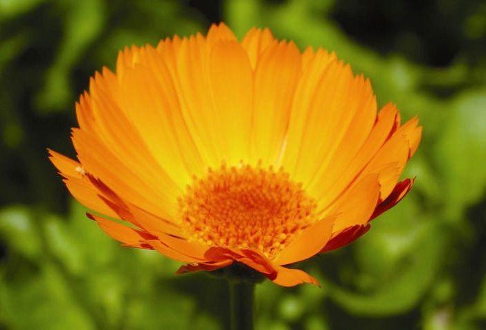 Calendula - 7,5 ml  - Floressência
