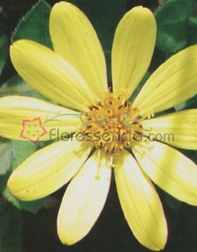 Calendula Silvestre - 10 ml  - Floressência