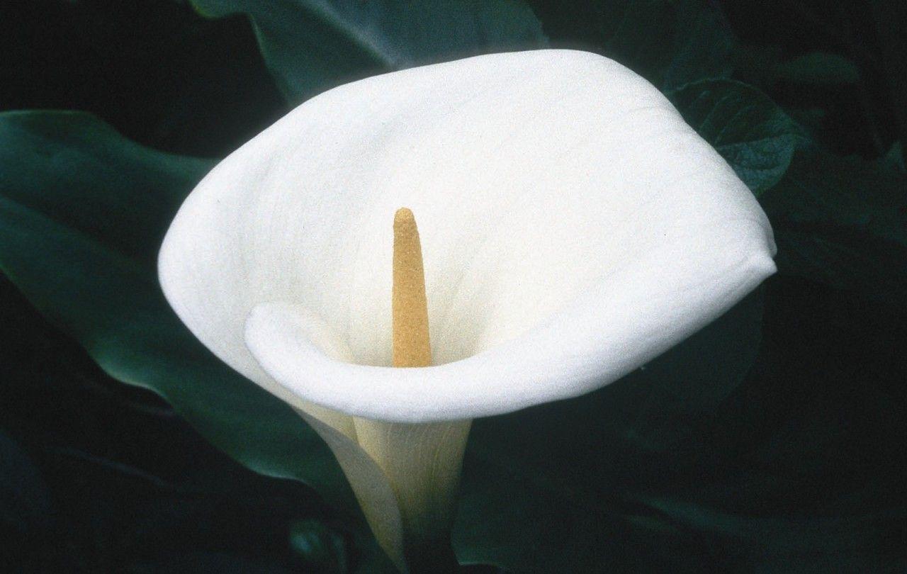 Calla Lily  - Floressência