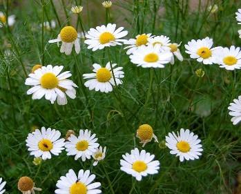 Camomila - 10 ml  - Floressência