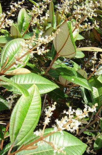Canela de Velho - 10 ml  - Floressência