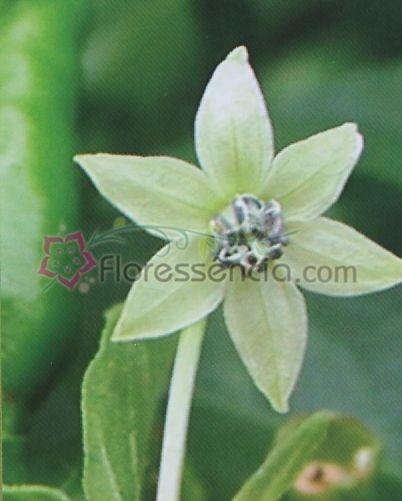 Capsicum - 10 ml  - Floressência
