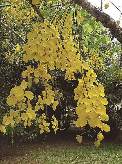 Cassia Imperial - 10 ml  - Floressência