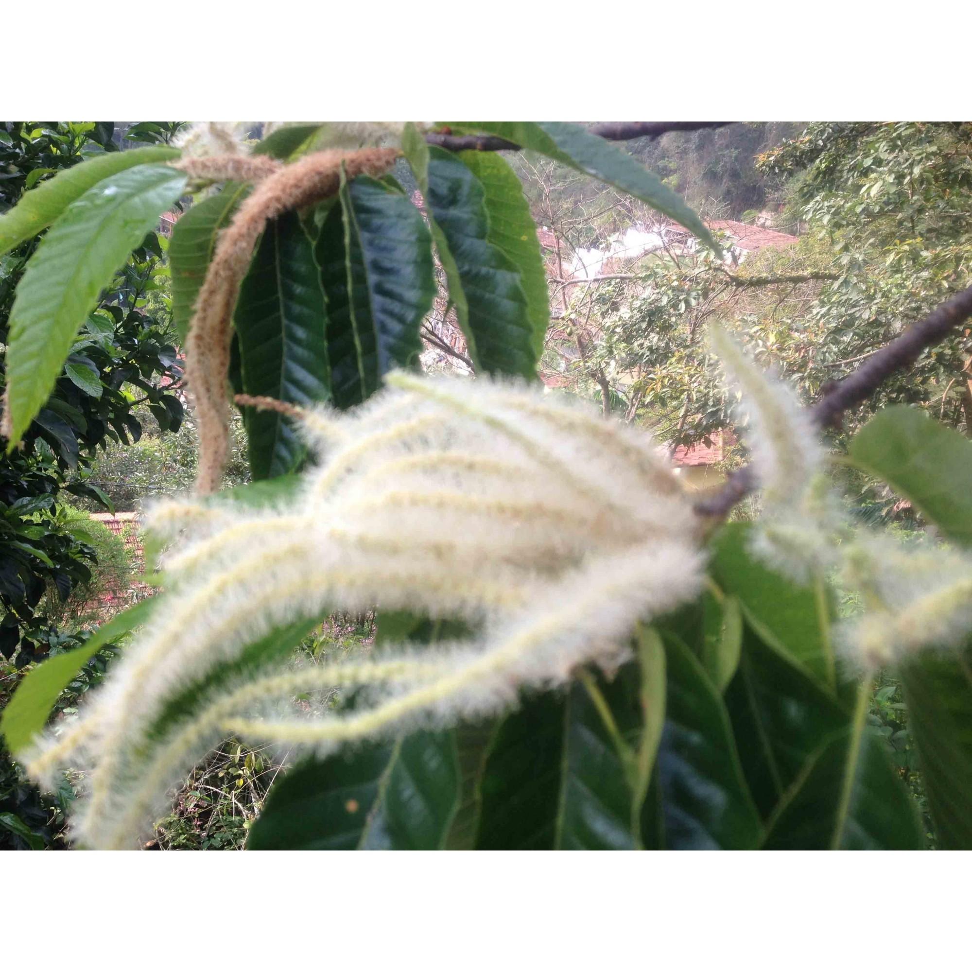 Castanha - 10 ml  - Floressência
