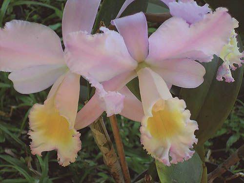 Catléia Rosa - 10 ml  - Floressência