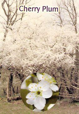 Cherry Plum - 30 ml  - Floressência