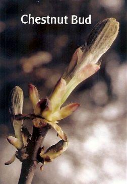Chestnut Bud - 10 ml  - Floressência