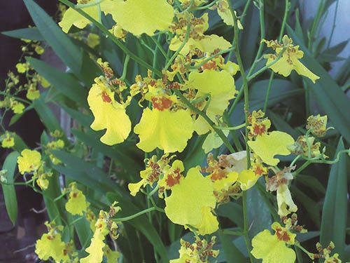 Chuva de Ouro - 10 ml  - Floressência