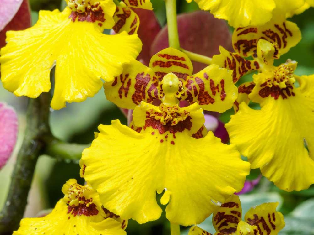Chuva-de-Ouro - 10 ml  - Floressência