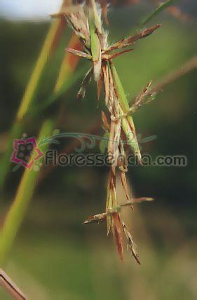 Cidreira - 10 ml  - Floressência