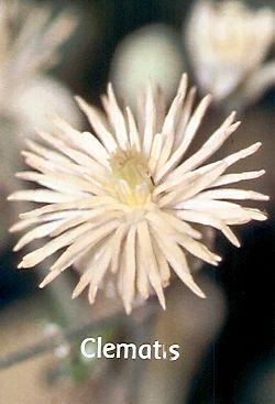 Clematis - 30 ml  - Floressência