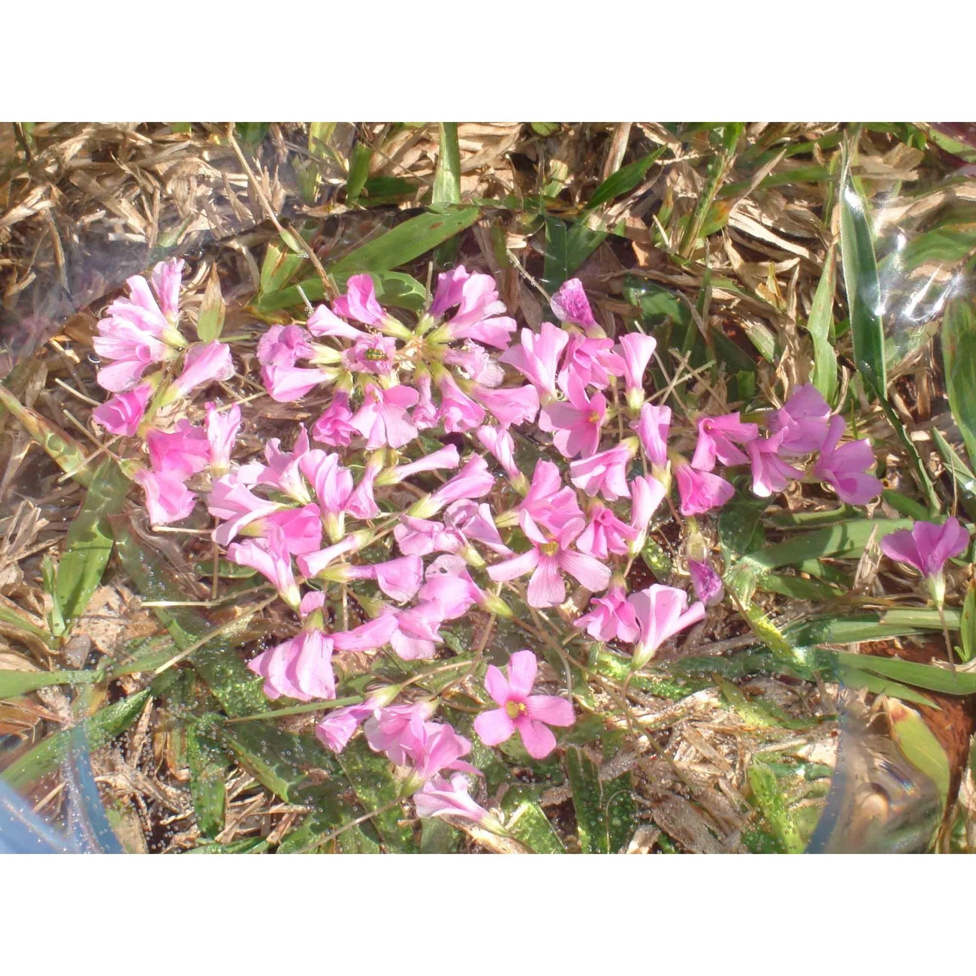 Compaixão - Azas Florais - 10 ml  - Floressência