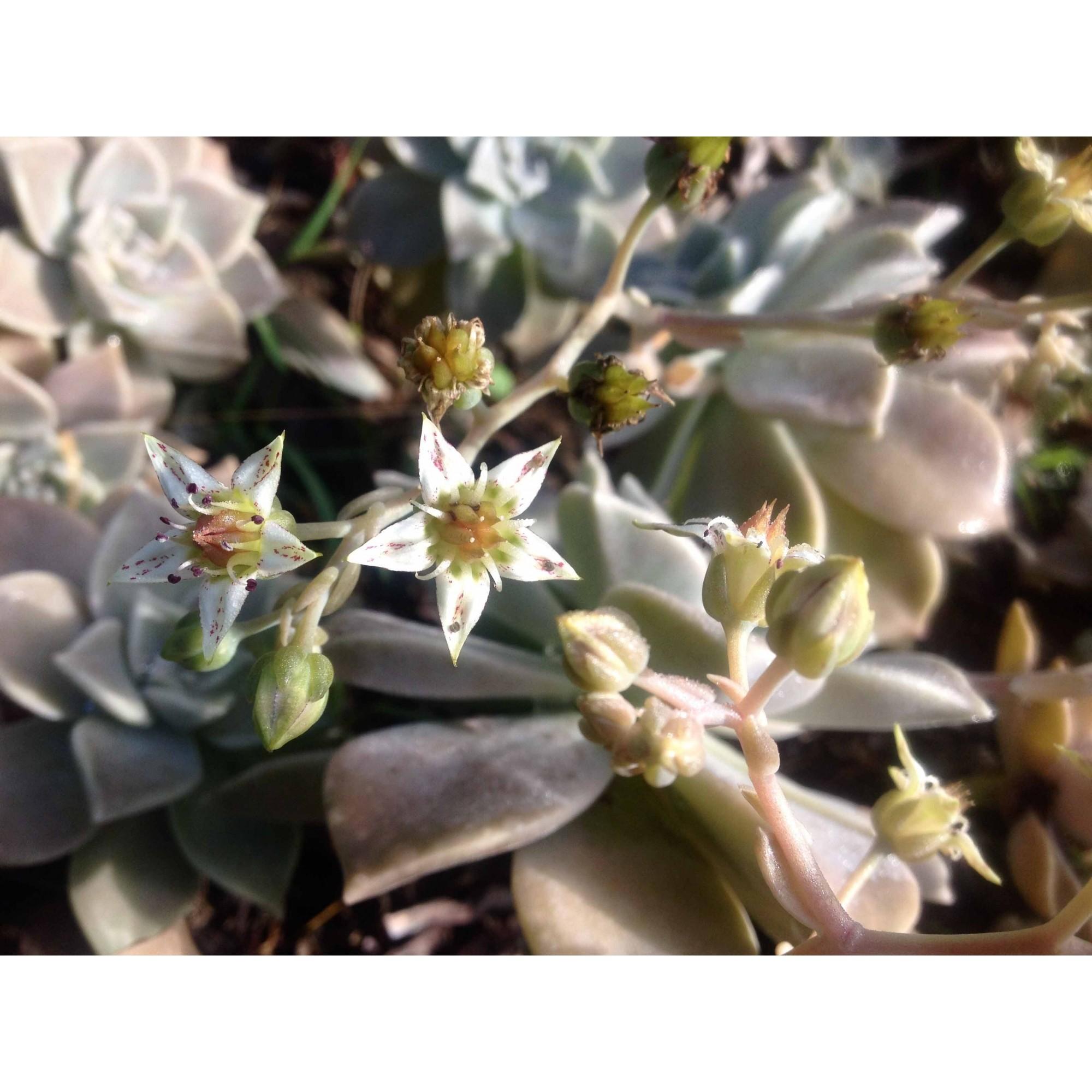 Coração da Terra - 10 ml  - Floressência