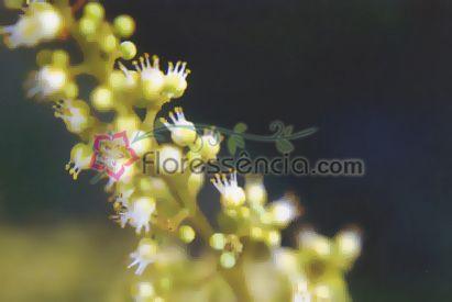 Coronarium - 10 ml  - Floressência
