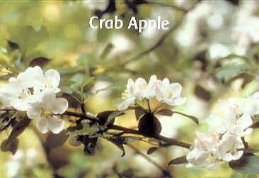 Crab Apple - 30 ml  - Floressência