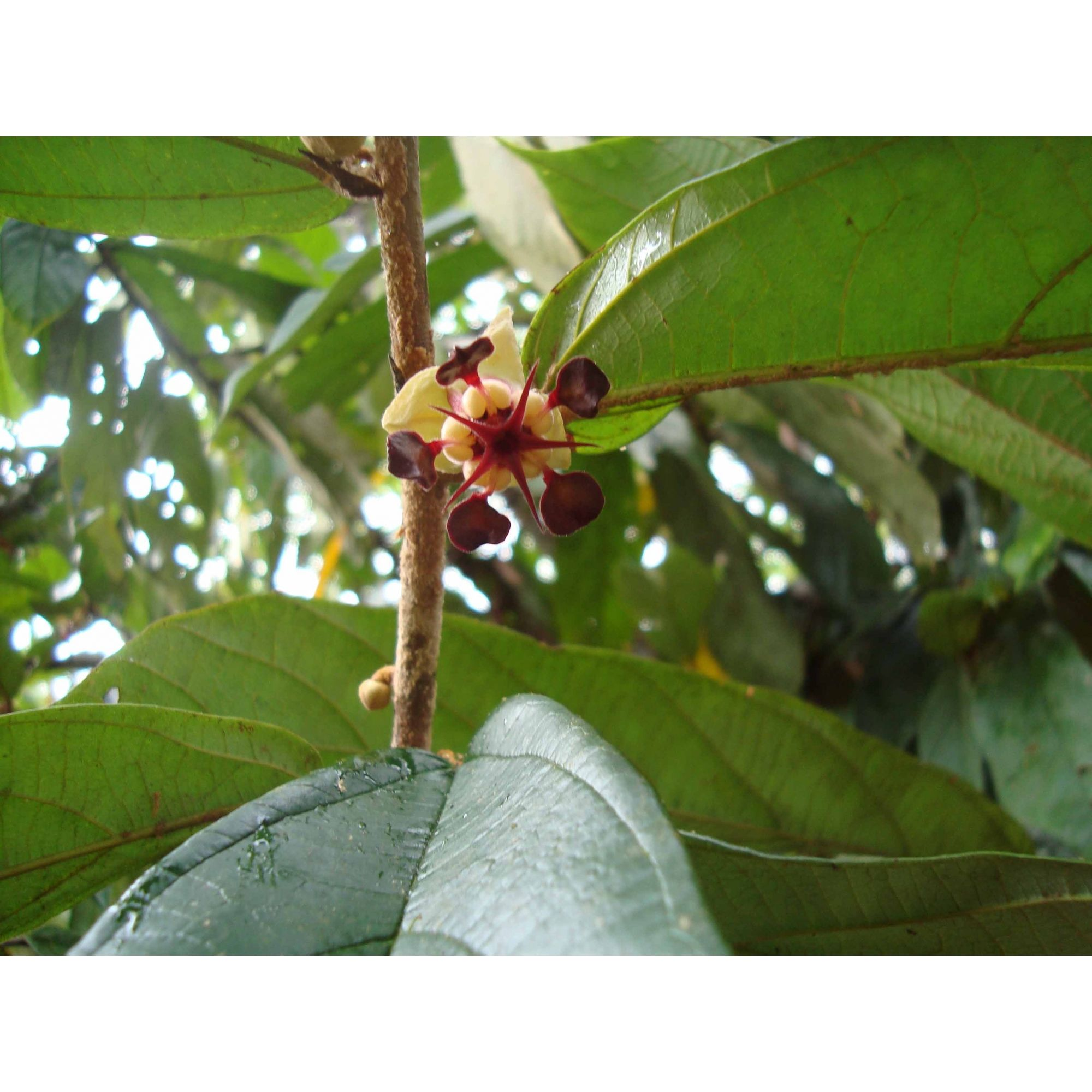 Cupuaçú - 10 ml  - Floressência