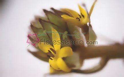 Curculigum - 10 ml  - Floressência
