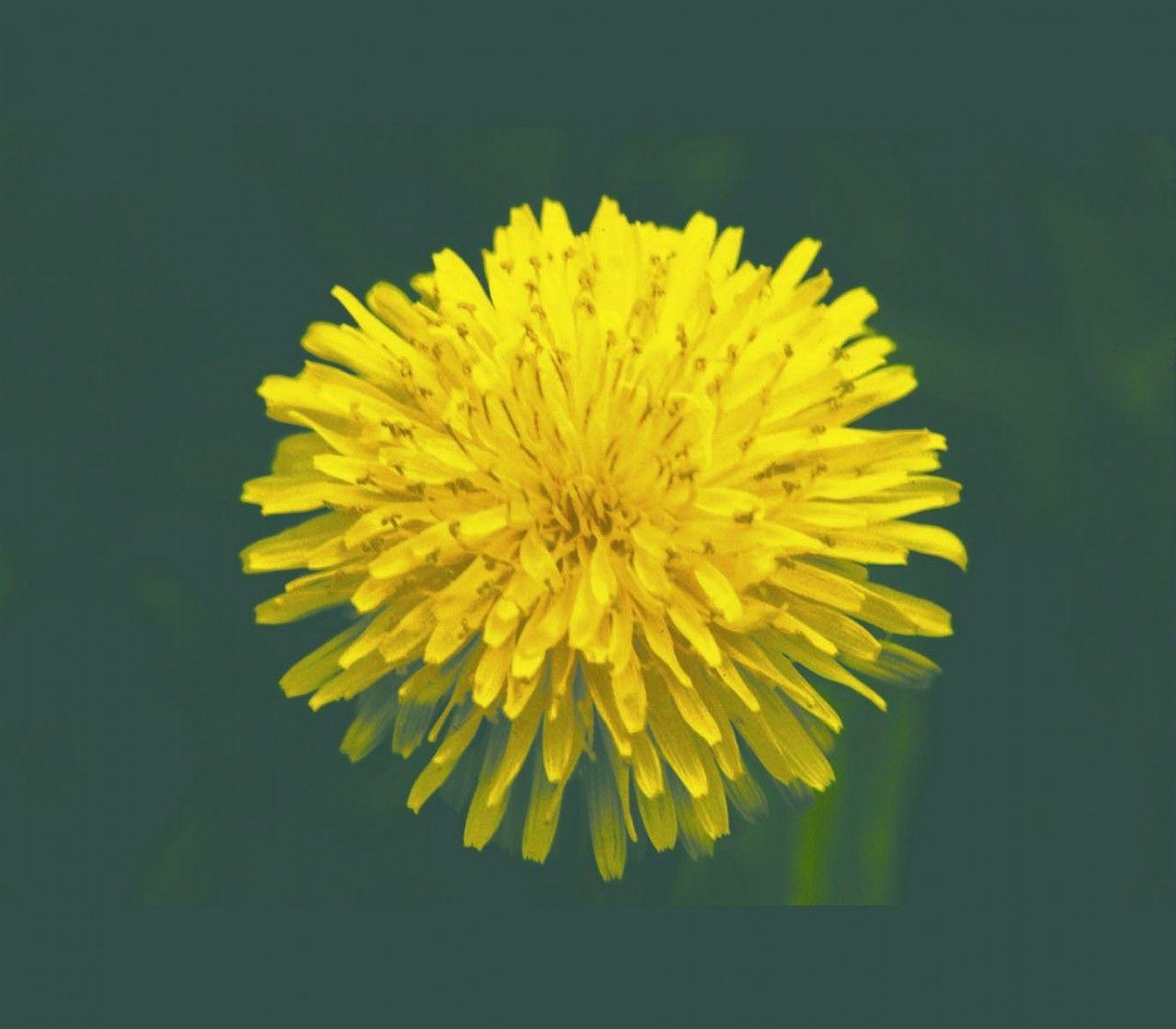 Dandelion - 7,5 ml  - Floressência