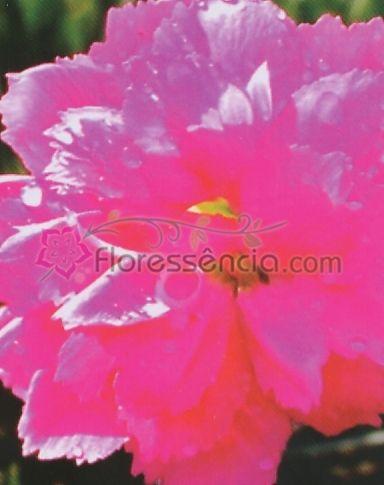 Dianthus - 10 ml  - Floressência